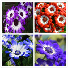 200pcs mixed color Cineraria seeds daisy seeds Cineraria flower seeds bonsai seeds for home & garden Promotion!!(China)