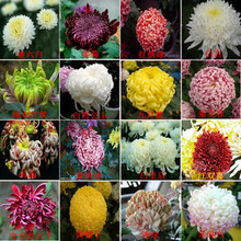 100% Genuine Flower seeds chrysanthemum seeds four seasons plant seeds for home garden - 200pcs mixed seeds(China)