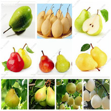 China Pear Seed Pyrus Fruit Seed Rare Organic Fruit Tree Potted Plant 5 Seeds / Pack Outdoor Perennial Ornamental Plants Can Eat(China)