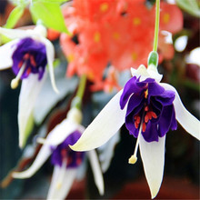 100seeds Mixed Color Bell Flower Fuchsias Seeds Lantern Begonia Balcony Bonsai Plant For DIY Garden & Home planting Easy to grow