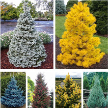 50 Pcs Colorado Blue fir seeds plants Blue Spruce Seeds Picea Tree Potted Bonsai Courtyard Garden Bonsai Plant Pine Tree Seeds