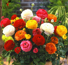 100%True Ranunculus Double Buttercup Mix 20 Seeds, Ranunculus Flower Seeds  For Home & Garden Indoor bonsai Plants