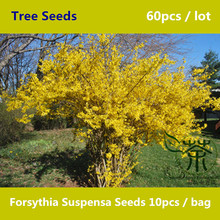 Traditional Chinese Medicine Forsythia Suspensa Seeds 60pcs, Large Shrub Chinese Lian Qiao Tree Seeds, Fundamental Herbs Seeds