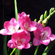 Pink Freesia Seeds Freesia Flower Pot Garden Seeds Garden Terrace Perennial Flower Seeds 100PCS