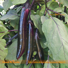 Japanese Purple Long Eggplant Seed, 100 Seeds/Pack, Organic Vegetable Seed-Gourmet Flavor! Succulent and Tender!-Land Miracle(China)