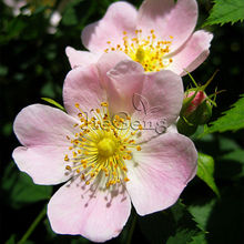 Rosa Canina Seed * 1 Packet  ( 5 Seeds ) * Dog Rose * Rose Hips * Herb Seed * Perennial shrub * Flower Seed Samen Sime