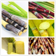 Rare Sugar Cane Seeds, 100 seeds/bag Mix Colors Flower Seeds,Vegetable and fruits seeds, High survival Rate for Home and Garden