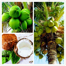10 Pcs/bag,Coconut tree Seeds, tropical High Nutrition Juicy Fruit,Perennial Woody Plants for home and garden DIY(China)