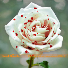 Rare Variety Splash White With Red Rose Seeds,50 Seeds/Pack, Gorgeous Bright-colored DIY Home Garden Potted Balcony Flower Plant