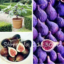 Edible Organic Fig Fruit Seed Riching in Vitamin Productive Fruit Tree Seed Healthy Fruit Bonsai Plant DIY Home Garden-30 Pcs