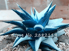 Rare Blue Cactus Seeds 100pcs/bag Variety Exotic Flowering Color Cacti Rare Cactus Aloe Seed Office Plant Succulent Planting
