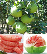 10 Pcs Delicious Fruit Seeds Pomelo Seeds White And Red Dwarf Bonsai Tree Rare Bonsai Fruit Seeds For Home Garden Best Child Gif(China)