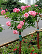 100 Particle/bag Pink Chinese Lovely Rose Tree Seeds Beautiful Flowereasy To Grow Ideal DIY Garden Decor Free Shipping.