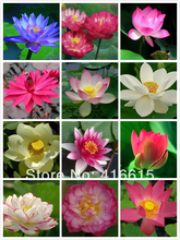 12 Species - 60 Fresh Seeds,,Mixed Water Lilies Aquatic -Bowl Lotus Nymphaea ssp ,Excellent Bonsai Subject PLUS MYSTERIOUS GIFT