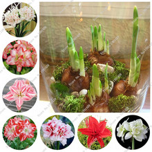 Buy True Amaryllis Bulbs,Japanese Hippeastrum Flowers,Bonsai Rare Flower Rhizome,Barbados Lily bulbos,Garden Greenhouse Plant 3P for $2.09 in AliExpress store