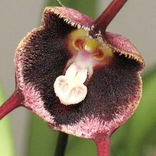 New varieties of orchids, Monkey Face Orchid Seeds, Bonsai Plants Flower Seeds 100pcs