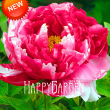 Hot Sale!Pink and Red Double Color Peony Flower Seeds Potted Flowers Bonsai Plant Seeds for Home Garden 10 Seeds/Bag,#S48P4R
