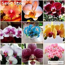 orchid seeds diy plant flower phalaenopsis Sementes * 2016 home bonsai plants Rainbow Orchids Seed 30 PCS buy 2bags+ rose gift