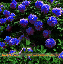Rare Chinese Dark Blue Peony Flower Plant Seedling Seeds, 5 Seeds/Pack, Strong Fragrant Beautiful Bush Flower for Balcony Garden