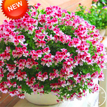 Big Sale!20 PCS/Bag Two-color Red White Univalve Geranium Seeds Perennial Flower Seeds Pelargonium Peltatum Seeds,#HNW8EY