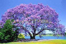 100 pcs Paulownia Seeds (princess tree or empress tree) rare purple flower tree seeds for DIY garden seeds