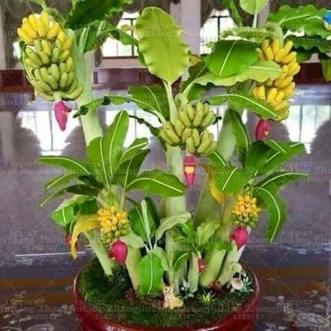 100pcs-bag-Potted-banana-seeds-bonsai-Organic-fruit-seeds-Healthy-and-nutritious-food-fruits-dwarf-banana(1)_