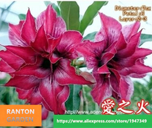 """Love Fire"" Home Garden Bonsai Adenium obesum Succulent Plants Seed 5pcs /pack 100% Real Desert Rose Seeds"