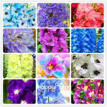 Time-Limit!! 100 Seeds A Pack Rocket larkspur seed Consolida Ajacis Delphinium Flowers potted bonsai DIY home garden(China)