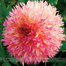Myrtle's Folly Multi-colored Twisted Dahlia Flower Seeds, Professional Pack, 20 Seeds / Pack, Fragrant Vibrantly Colored Petals