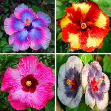 2016 new arrivals 100 Seeds Giant Hibiscus Exotic Coral Flowers Mix Rare Colors Free Shipping