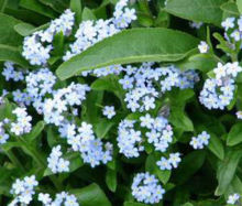 2016 New Rare FORGET ME NOT Myosotis Sylvatica - 100 Flower Seeds jiaqi's Store store