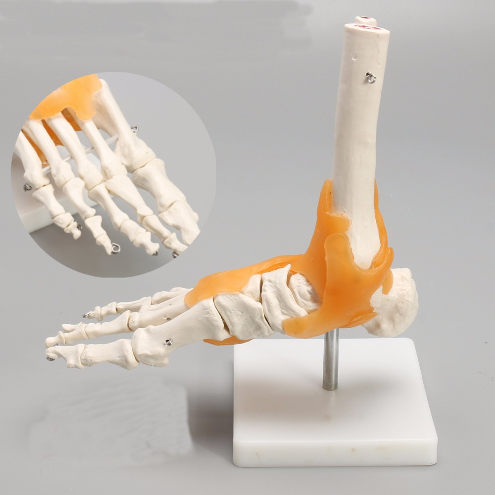 1:1 Human Skeleton Liga ment Foot Ankle Joint Anatomi cal Anatomy Medical Model Hum an Statues Sculptures High Quality<br>