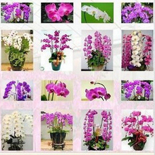 mixed color 20seeds/bag Butterfly orchid seeds balcony gardening 24 kinds of butterflies when flowering potted orchids Seed(China)