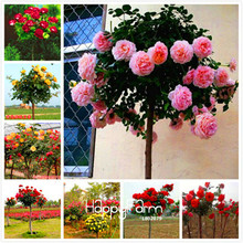 Lowest Price!100 SEEDS - Genuine Fresh Rare Rosa Chinensis Dendroidal ROSE Flower Tree Seeds,#4N4O7F(China)