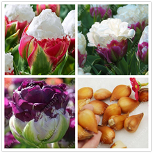 True tulip bulbs (not tulip seeds) bonsai flower bulbs ice cream as beautiful tulips Rizomas Bulbos Aroma potted plant - 2 bulbs