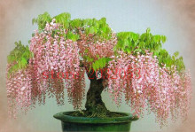 10 pcs wisteria seeds Rare red flower Wisteria Bonsai Seeds Mini Bonsai Tree Indoor Ornamental Plant for home decoration(China)