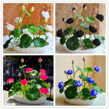 Flower seeds bowl lotus flower hydroponic Aquatic plants lotus seeds perennial water lily plant for mini garden 5 pcs/bag