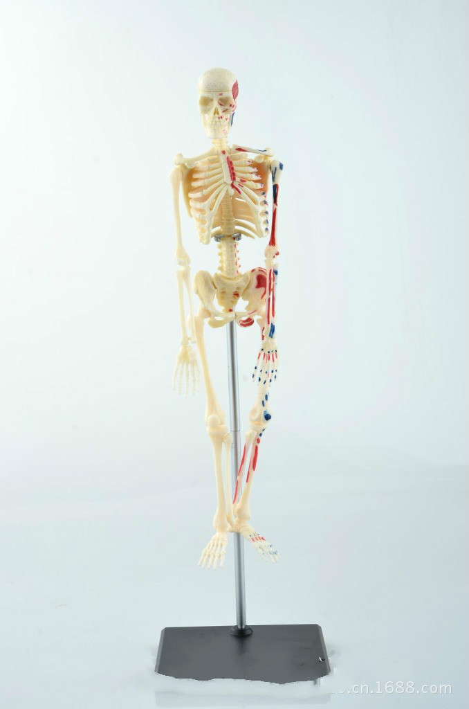 Anatomy skeletons for sale