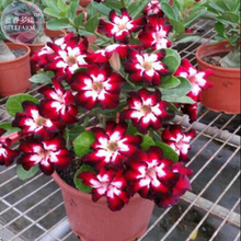 BELLFARM Rare Dark Flowing Adenium Desert rose, Professional Pack, 2 Seeds, single petal dark red, red and white petals E4031
