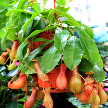 50 seeds/pack Cheap Bonsai Nepenthes Seeds Eating Mosquito Varieties Of Seed Plants Mixed Garden Decoration Bonsai Flower Seeds