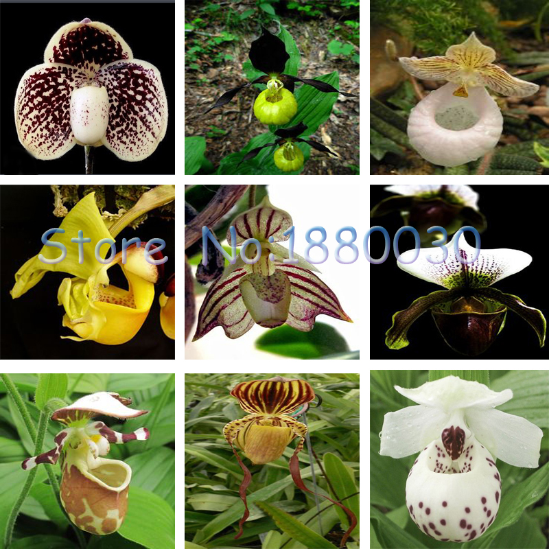 US-Seller Brazilian specialties of Cypripedium flower seeds orchid 100PCS
