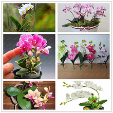 200 PCSbag  Unique Rainbow Butterfly Orchid seeds mixed colors Balcony Ornamental Plants Mini Phalaenopsis Bonsai Plant seeds(China)