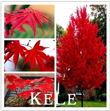Big Promotion!!! 30 seeds/bag Authentic imported U.S. seed autumn flame maple tree seeds seedlings and technical guidance to ens(China)