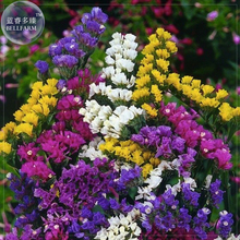 Sinuata Pacific Mixed Statice Flowers, Professional Pack, 30 seeds, annual open pollinated E4045(China)
