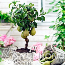 Green Pear Seeds(Pyrus Communis)Rare Organic Fruit Tree seeds in Bonsai. tropical fruit seeds for Home Garden Plants 20PCS(China)