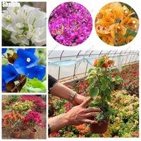 New-Bonsai-Bougainvillea-Seeds-Perennial-Mini-Tree-Colorful-Bougainvillea-Flower-Home-Garden-Building-50-Pcs-Nature.jpg_200x200