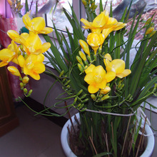 Yellow Freesia Seeds Freesia Flower Pot Garden Seeds Garden Terrace Perennial Flower Seeds