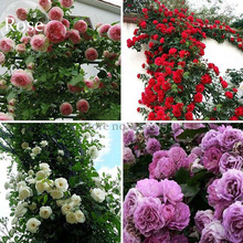 Mixed 4 Types of Climbing Rose Perennial Pink Red White Light Purple Flowers, 50 Seeds, fragrant climbing plants E3694