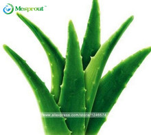 Vegetables and fruit seeds Aloe vera seeds edible beauty Edible cosmetic Bonsai plants Seeds for home & garden 100PCS seeds