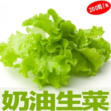20seeds/bag super soft butter lettuce seeds raw vegetables and potted vegetable seed balcony Spring sowing(China)